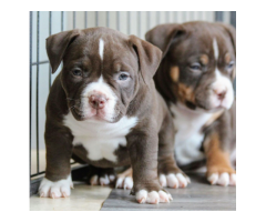 Lovely puppies for Adoption