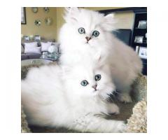 Adorable male and female Persian kittens