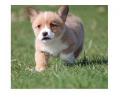 Forest - Welsh Corgi Male