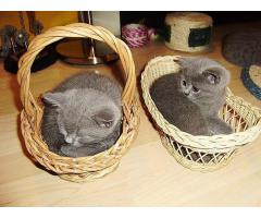 British shorthair blue eyes available