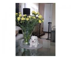 Adorable Maltese puppies for sale to caring homes only