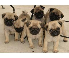 ADORABLE AND GORGEOUS PUG PUPPIES FOR ADOPTION