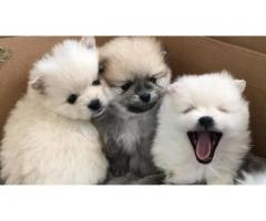 Gorgeous Pomeranian pups