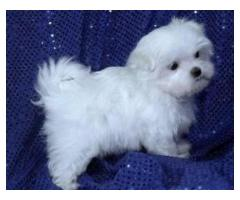 Very Sweet Charming Maltese Puppies ready
