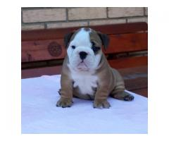 English bulldog puppies of extraordinary bloodline