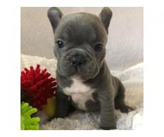 extremely healthy and lovely french bulldog puppy for sale