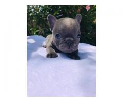 very very healthy and lovely french bulldog puppy for sale