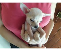 Chihuahua Puppy Ready For Her New Home