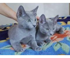 eautiful -russian -blue Kitten.