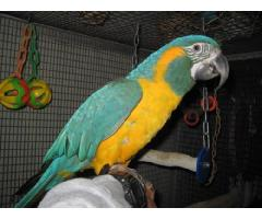 Two Macaws- Blue Throated Macaw & Blue and Gold Macaw