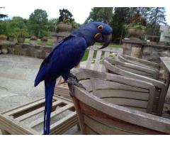 Hyacinth macaw Parrots