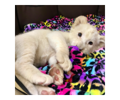 cute, friendly and adorable white lion cub for sale