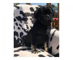 beautiful pug puppies looking for their for ever home