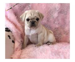 cute pug puppies looking for their for ever home