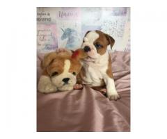 Bulldog puppies Male and Female