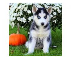 Gorgeous Siberian husky Puppies ready for Adoption
