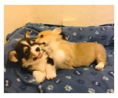 Eve Christmas Shiba Inu puppies ready now