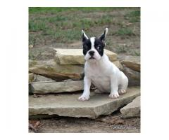 AKC French Bulldog puppies.