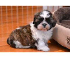 Adorable Shih Tzu puppies for rehome