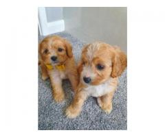 Beautiful Cavapoo Puppies Health Checked