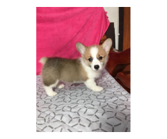 Gorgeous Corgi Puppies For Adoption