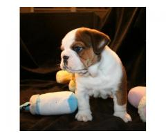Puppies of the English Bulldog