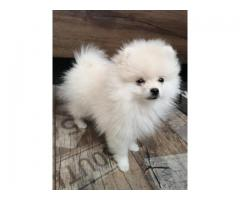 Cute Pomeranian Puppies for Adoption