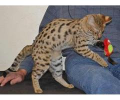 F1 Savannah and Serval kittens for sale.
