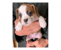KC REG Purebred Boxer Puppies