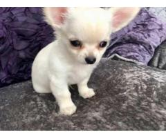chihuahua puppies up for genuine adoption