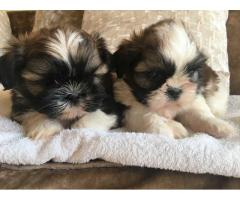 Toy Shih Tzu puppies available for loving homes