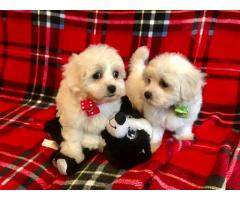 Gorgeous Kc Reg Maltese Puppies