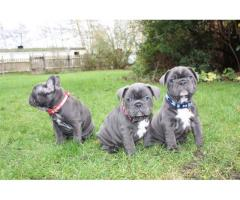 Here I have stunning Blue French Bulldog puppies.