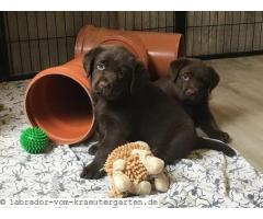 Cute Labrador Retrievers Puppies Available