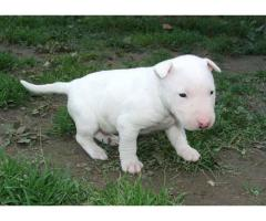 Awesome Male and Female Bull Terrier Puppies