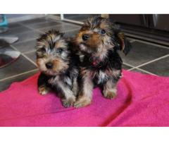 Potty Trained & Health Registered Teacup Yorkie Puppies