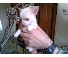 Pedigree Small Chihuahua Puppies Fully Vaccinated