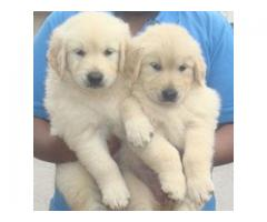 Top Quality Golden Retrievers Puppies available Whatsapp +91 9632473768