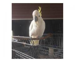 hand raised cockatoo parrots for sale