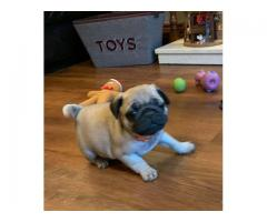 Pug puppies for adoption both male and female
