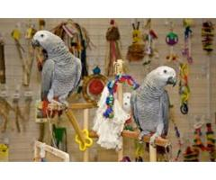 Talkative male and female DNA African Grey Parrots Burung kakak kelabu
