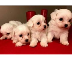 Two Awesome Maltese puppies