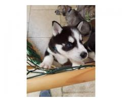 Blue Eyes Siberian Husky Puppies