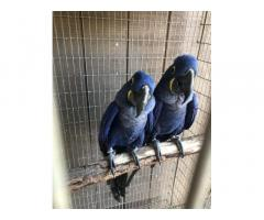 100% DNA Tested Hyancith Macaws