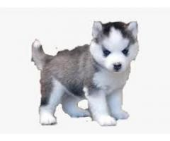 Beautiful  husky puppies  ready for new homes