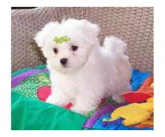 Beautiful Maltese female and male ready ##