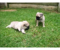 Registered Pug puppies for adoption