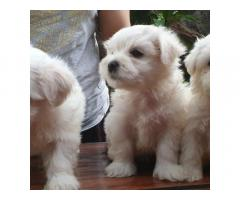 3 MALTESE PUPPIES FOR ADOPTION