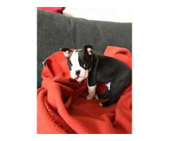 Adorable Boston Terrier Puppies
