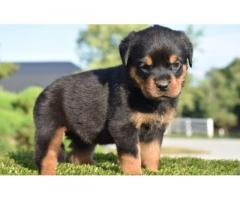 great temperament 	Rottweiler puppy